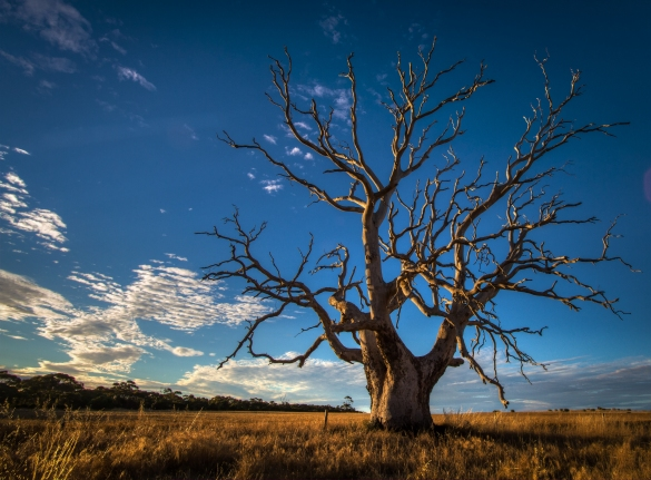 Gnarly_Old_Tree_-_South_Australia